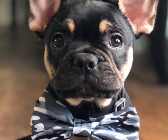 The Best Time You Can Pass with the French Bulldog