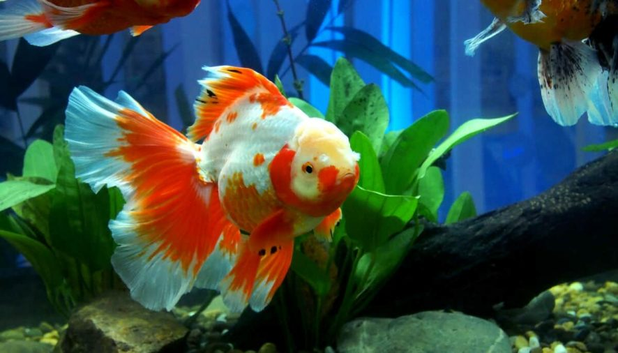 How to Care For Your Beloved Goldfish